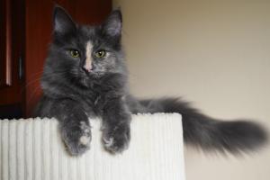 Kotka norweska leśna Bella w domu, którym jest hodowla kotów norweskich leśnych Z Ogrodu Lorien*PL