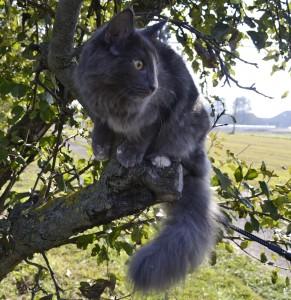 Kot norweski leśny w swoim naturalnym środowisku. Z wysokiego drzewa koty norweskie leśne z ciekawością obserwują otaczający je świat. Koty norweskie leśne to doskonali myśliwi, w naturalnym środowisku polują na małe gryzonie i ptaki, natomiast w domu kochają polowanie na wszelkie zabawki.