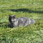 Hodowlana kotka nfo Celesta Leśne Futrzaki*PL