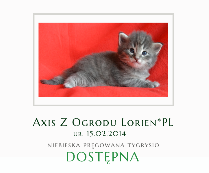 Kotka norweska leśna Axis Z Ogrodu Lorien*PL