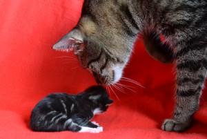 Kupno kota norweskiego leśnego - poznaj swojego przyszłego przyjaciela.